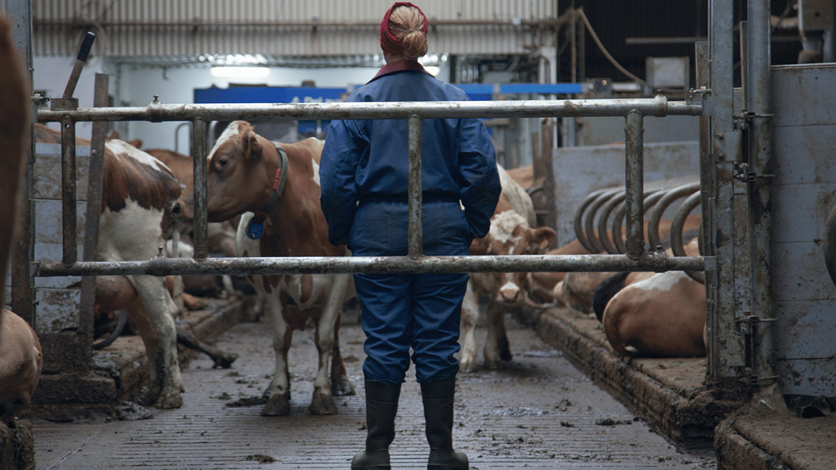 person standing in front of cows